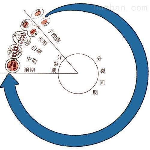 细胞周期实验